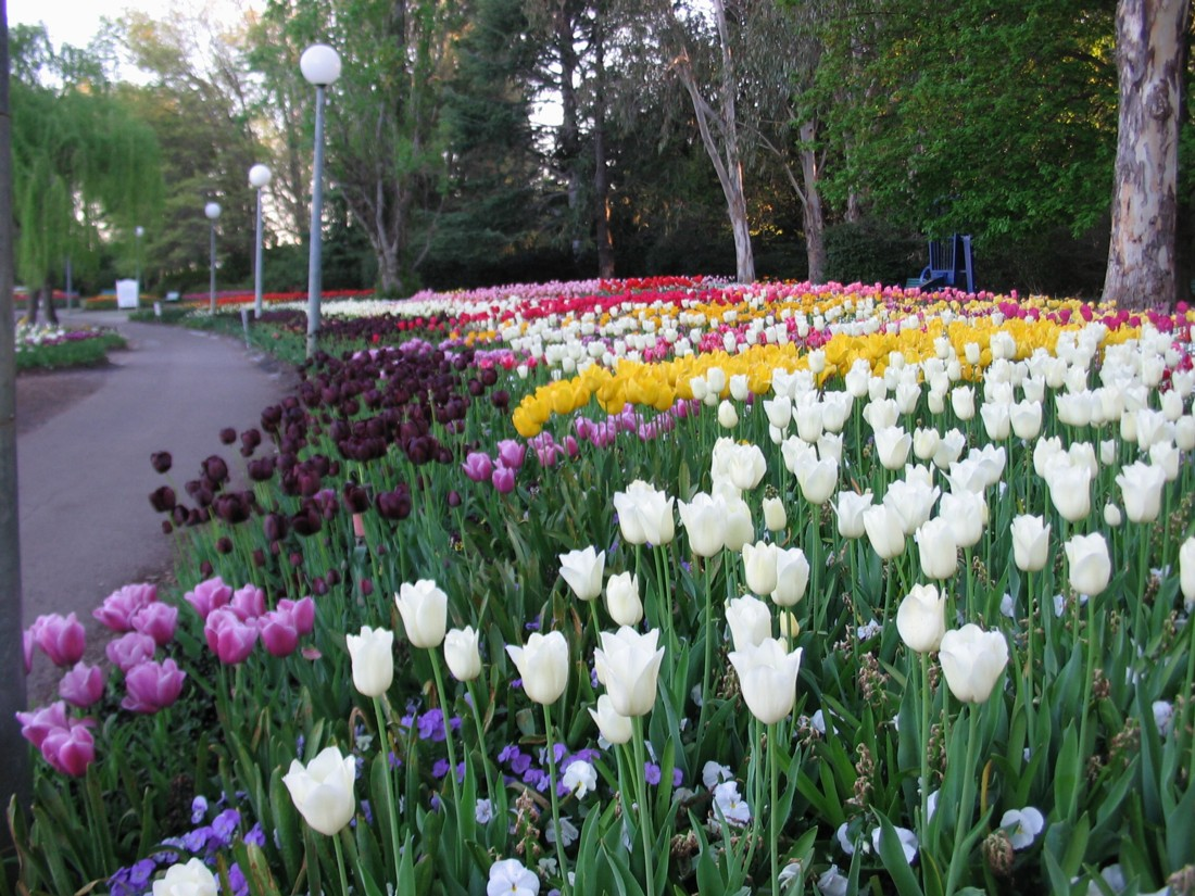 Bed of mixed tulips.